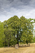 Goethe's linden in summer, Littleleaf linden (Tilia cordata), a remarkable tree, planted in the middle of the 19th century at Bastberg, Bouxwiller, Alsace, France