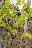 Grape bunch 'Pinot gris' in a vineyard in summer, Bouxwiller, Alsace, France