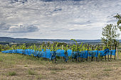 Protection nets on vines against bird damage in summer, Bouxwiller, Alsace, France