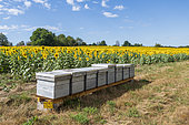 Beehives positioned in front of a field of sunflowers in summer, Moselle, France