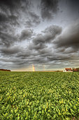 Rainbow over a sugar beet field in autumn, Pas de Calais, France
