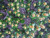 Myrtacea Tchapoiri (Tristaniopsis calobuxus) endemic, Mont Dore, New Caledonia