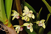 Blotched cane orchid (Dendrobium gracilicaule) endemic to south New Caledonia