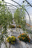 Tomatoes and Marigold (Tagetes sp) in a greenhouse in summer, Pas-de-Calais, France
