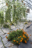 Cornue des Andes' tomatoes and Marigold (Tagetes sp) in a greenhouse in summer, Pas-de-Calais, France