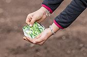 Lamb's lettuce seedling in summer vegetable garden, Moselle, France