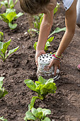 Girl removing pots placed on salad plants to protect them from slugs in summer, Moselle, France