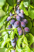 Quetsche plums on the tree in summer, Alsace, France