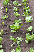 Salad, Chicory 'Franchi' in a vegetable garden in summer, Moselle, France