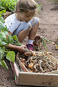Girl harvesting onions in a vegetable garden in summer, Moselle, France