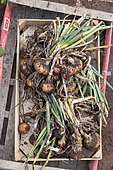Harvest onions in a vegetable garden in summer, Moselle, France
