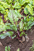 Red Beet in a vegetable garden in summer, Moselle, France