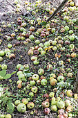 Apples fallen at the foot of the tree in summer, Moselle, France