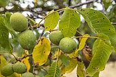 Walnut in its fleshy husk on the tree in summer, Alsace, France