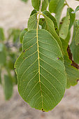 Close-up of a Walnut leaf in summer, Alsace, France