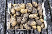 José' potato harvest, summer, Moselle, France