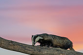 Badger (Meles meles) sow on a tree trunk at sunset