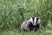 Badger (Meles meles) amongst grass, England