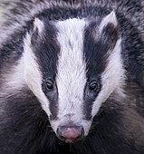 Badger (Meles meles) adult head details, Angleterre