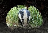 Badger (Meles meles cub coming towards his set, England