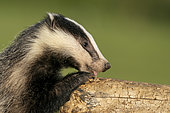 Badger (Meles meles) cub looking for food, England