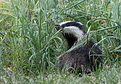 Badger (Meles meles) sow amonggst grass, England