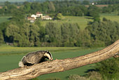Badger (Meles meles) climbing on a tree trunk