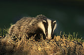 Badger (Meles meles) looking for food at sunset, England