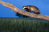 Badger (Meles meles) climbing on a tree trunk at sunset