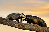 Badger (Meles meles) young and female climbing on a tree trunk at sunset