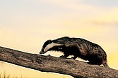 Badger (Meles meles) climbing on a tree trunk at sunset, Engalnd