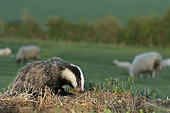 Badger (Meles meles) feeding with sheep in the background, England