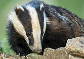 Badger (Meles meles) female looking for food, England