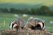Badger (Meles meles) young feeding with sheep in the background