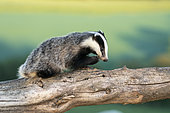 Badger (Meles meles) young looking for food on a tree trunk, England