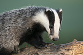 Badger (Meles meles) young head details, England