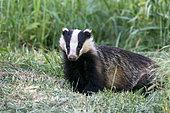 Badger (Meles meles) female amongst grass, England