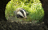 Badger (Meles meles) in front of his hole, England