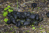 Black bear scat, Willamette National Forest, Oregon.