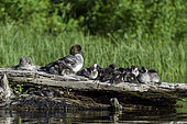 Common Goldeneye duck and ducklings (Bucephala clangula), Clear Lake, Willamette National Forest, Oregon.