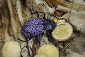 Pleasing Fungus Beetle, Gibbifer californicus, eating bird's nest fungus, southeastern Arizona