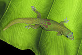 Gold Dust Day Gecko, Phelsuma laticauda laticauda, Hawaii.