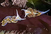 Opalescent Nudibranch, Hermissenda crassicornis, Santa Barbara County, California