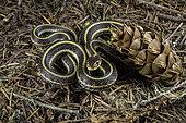 Northwestern Garter Snake, Thamnophis ordinoides, Linn County, Oregon.