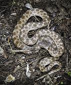 Night Snake, Hypsiglena torquata, southeastern Arizona.