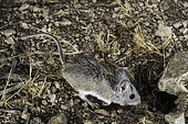 Pinyon Deermouse, Peromyscus truei, eastern Sierra Mountains, California.
