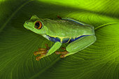 Red Eyed Tree Frog (Agalychnis callidryas) on a leaf, Costa Rica.