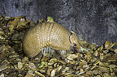 Three-banded Armadillo, Tolypeutes matacus, native of Brazil.