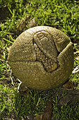 Three-banded Armadillo, Tolypeutes matacus, native of Brazil. It is one of only two species of armadillos which can roll into a ball.