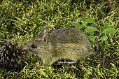 Western Jumping Mouse, Zapus princeps, Glacier National Park, Montana.